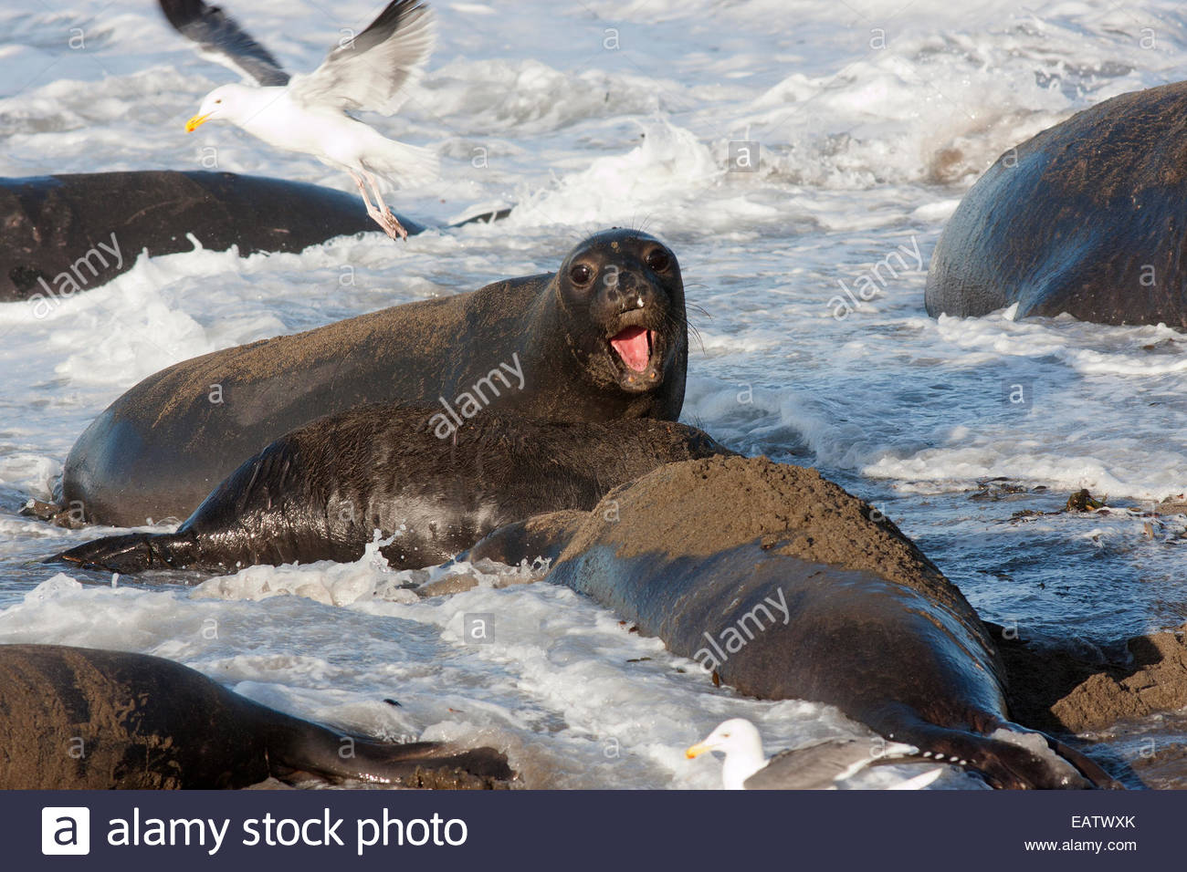 A northern elephant seal pup gets hit by a wave. - Stock Image