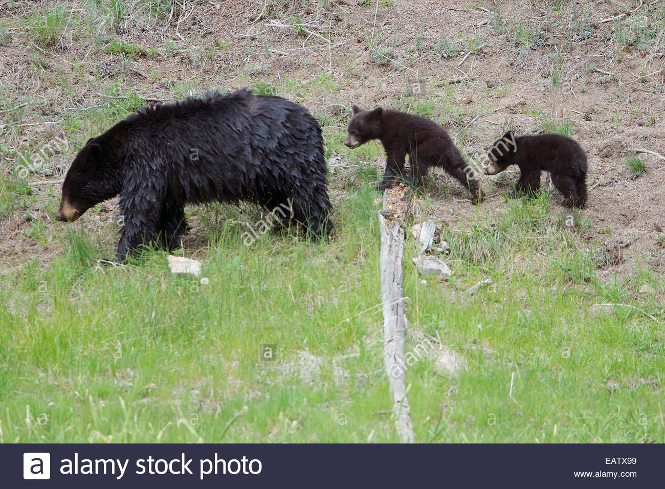 A black bear family follow each other closely. - Stock Image