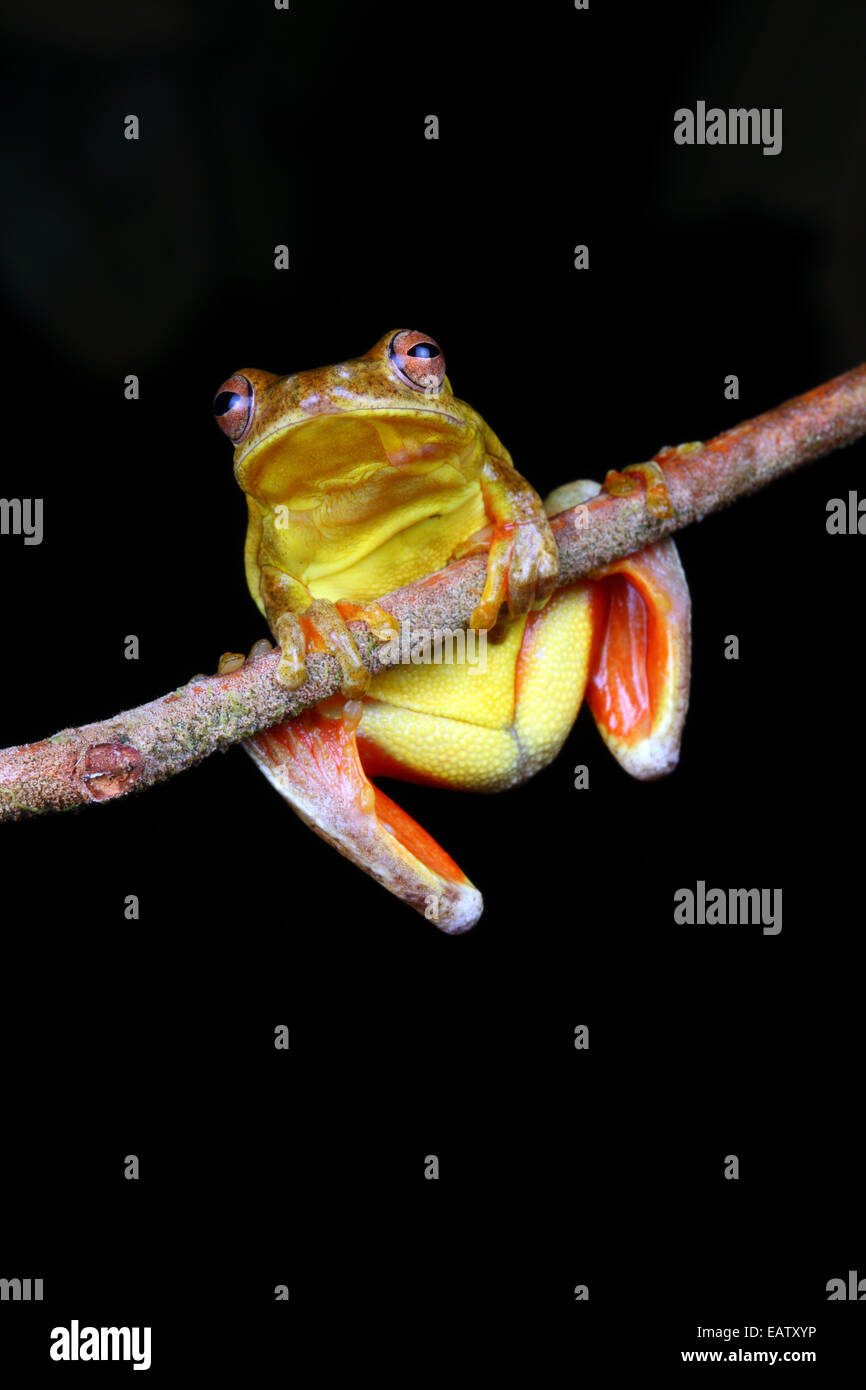 A mahogany tree frog, Tlalocohyla loquax, perched on a tree branch. - Stock Image