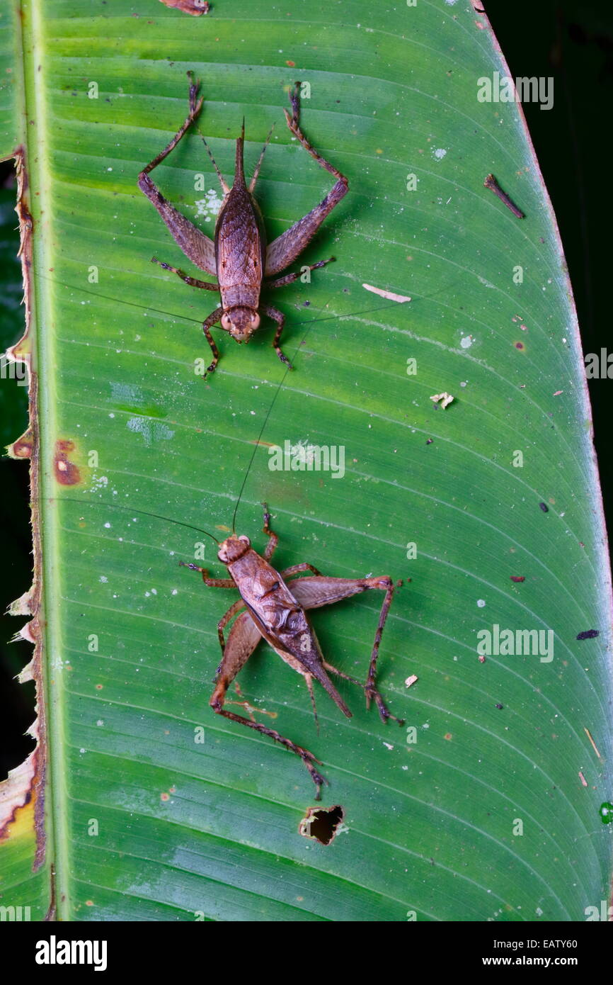 A pair of bush crickets squaring off on a leaf. - Stock Image