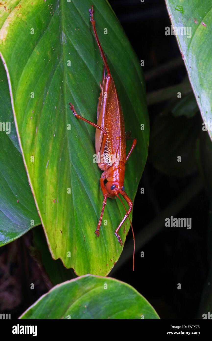 A blue-eyed katydid, Ischnomela pulchripennis, resting on a leaf. - Stock Image