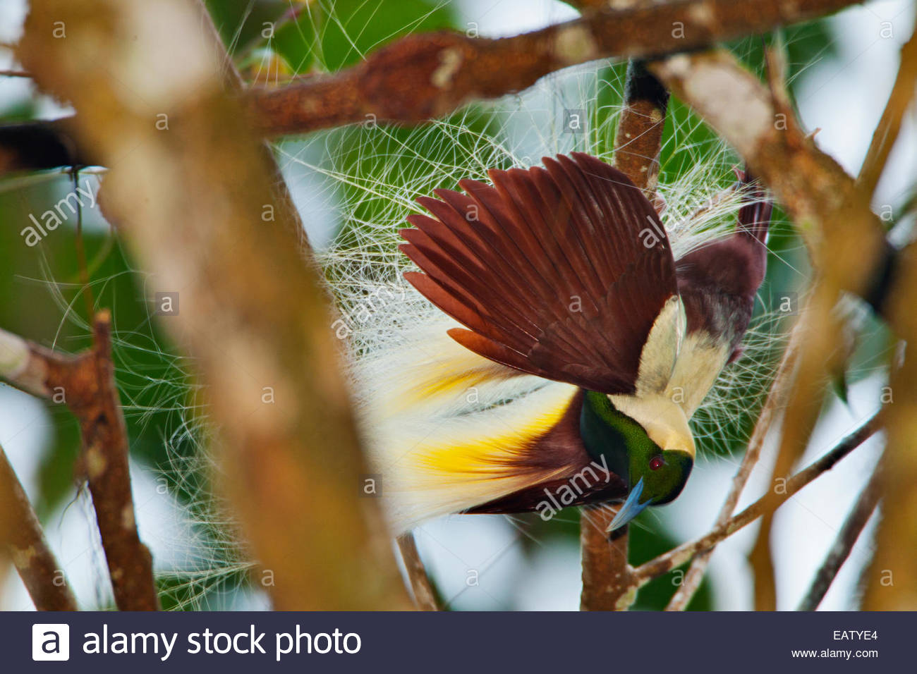 A male emperor bird of paradise hangs upside down and spreads his plumes to show females watching from above. - Stock Image