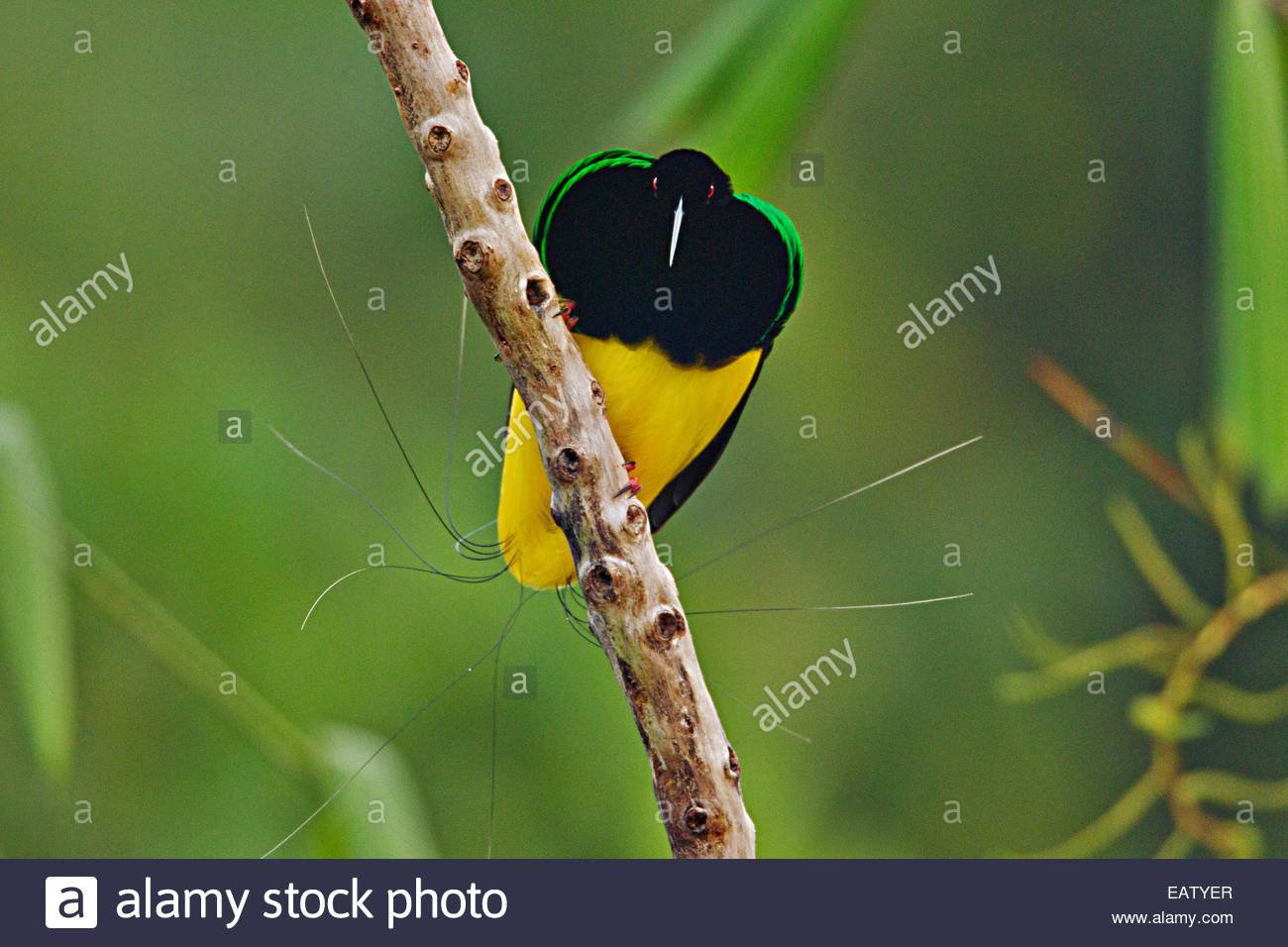 A male twelve wired bird of paradise at his display pole. - Stock Image