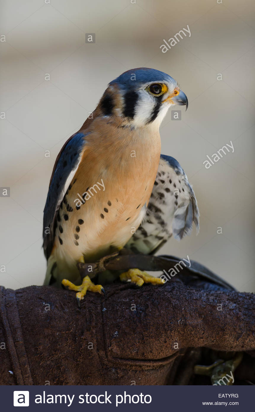 An American Kestrel perches on a gloved hand. - Stock Image