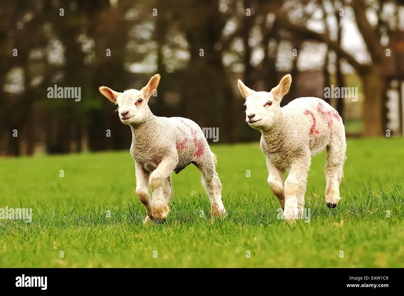Twin Spring Lambs - Stock Image