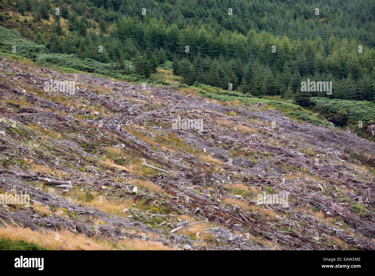 Clear felled conifer plantation trees alongside Loch Frisa on Mull, Scotland, UK. - Stock Image