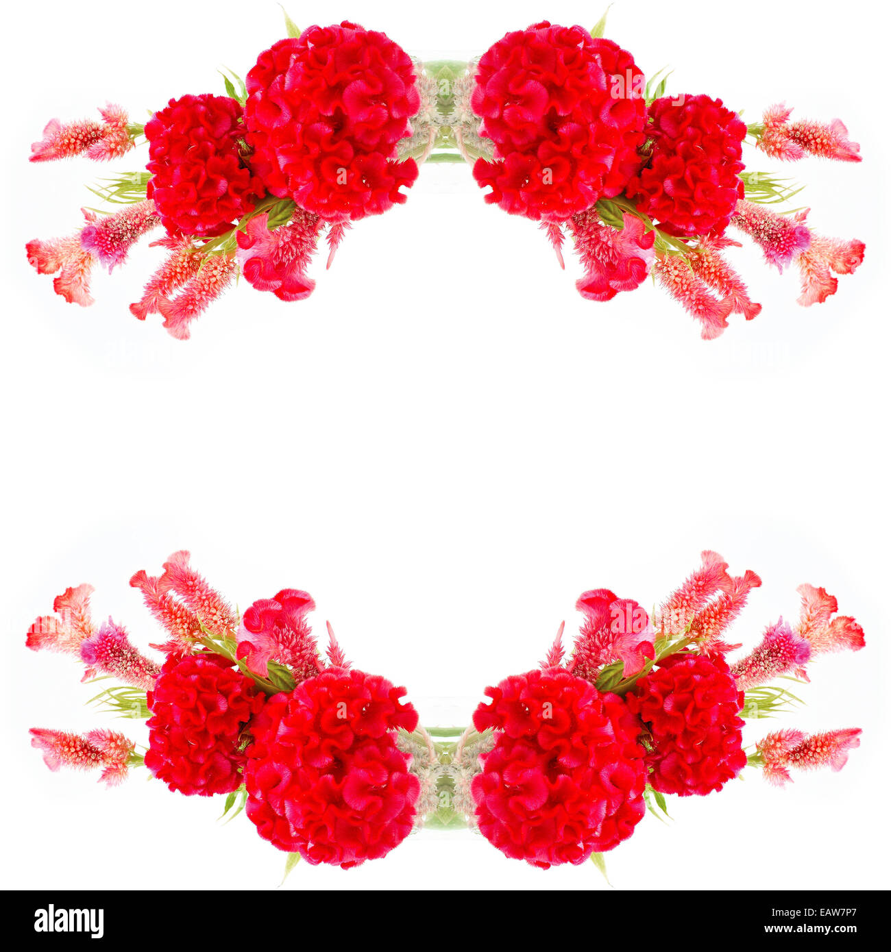 Red flower, Cockscomb or Chinese Wool Flower (Celosia argentea), isolated on a white background Stock Photo
