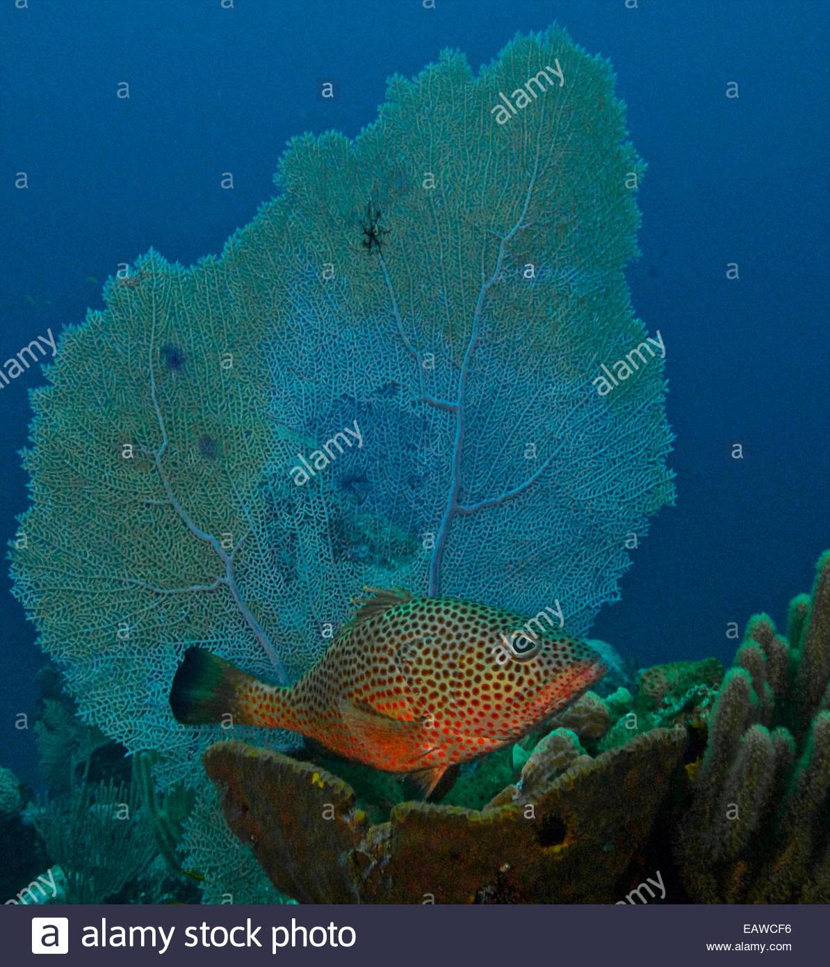 A red hind (Epinephelus guttatus) sheltering under a sea fan. - Stock Image