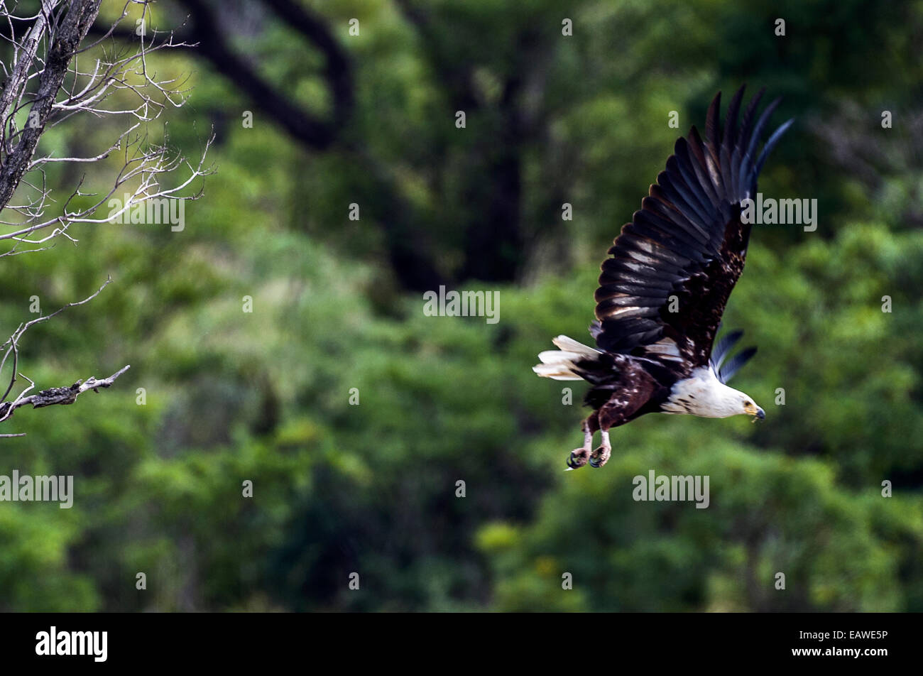 An African Fish Eagle launches from a roost above a wetland. - Stock Image