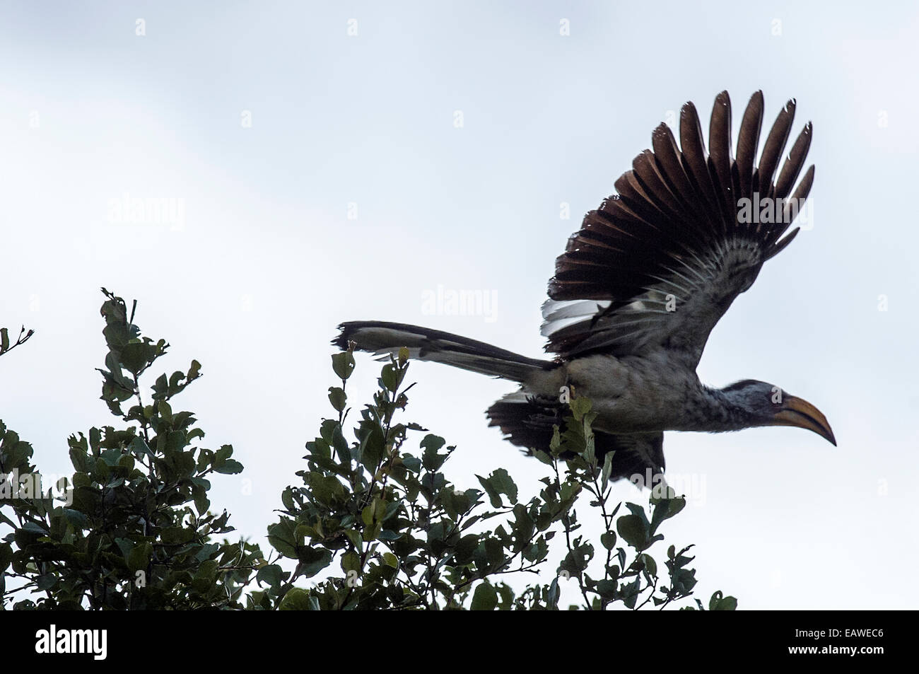 A Southern Yellow-billed Hornbill launches from the canopy of a tree. - Stock Image