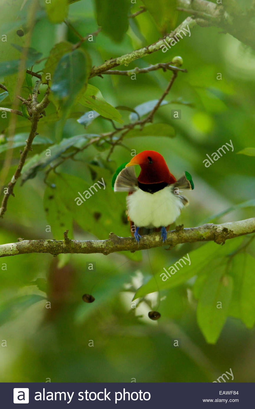 A male king bird of paradise with his pectoral fans extended. - Stock Image