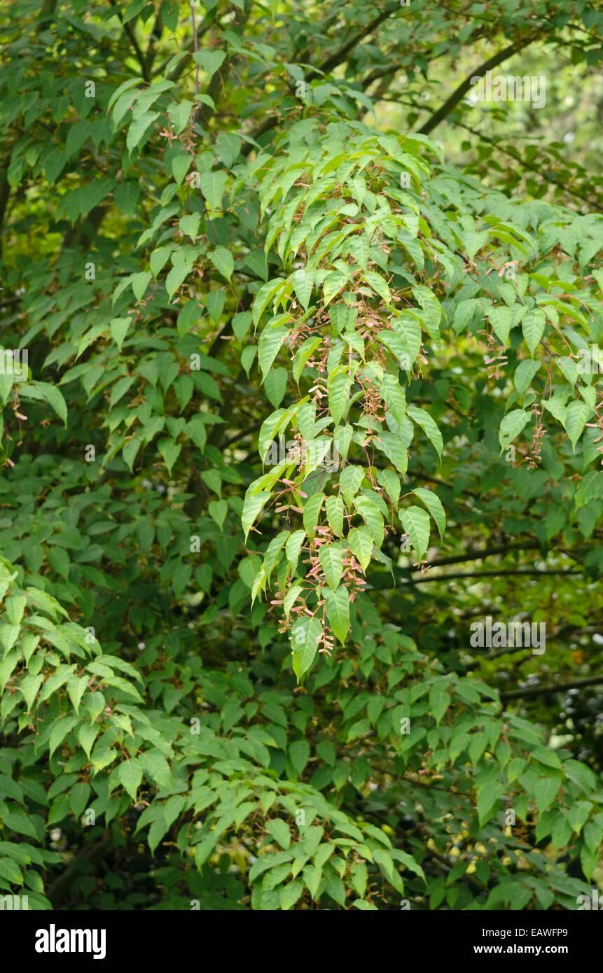 Père David's maple (Acer davidii 'George Forrest') - Stock Image
