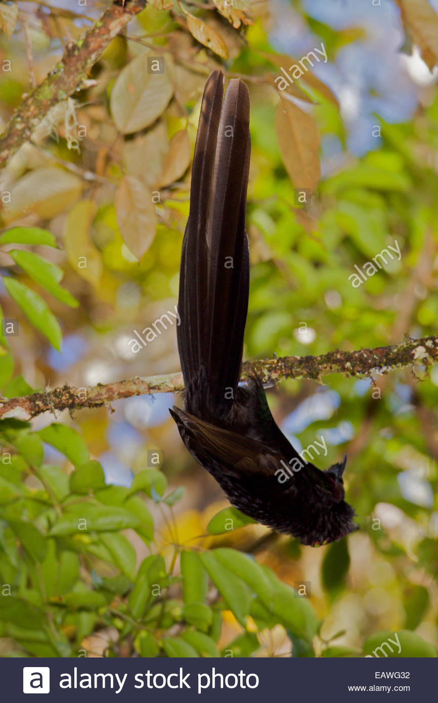 A male Arfak astrapia bird of paradise practices display in a position suspended below a branch. - Stock Image