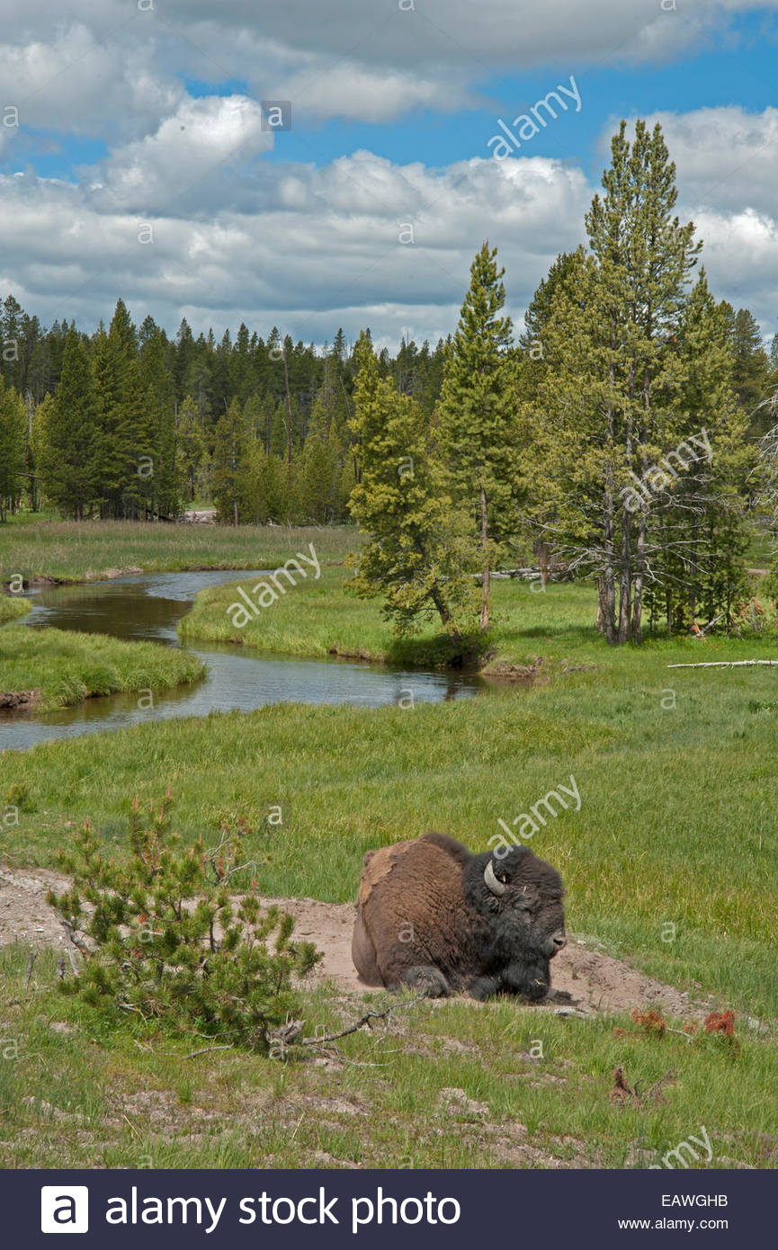 An American bison naps beside a stream. - Stock Image