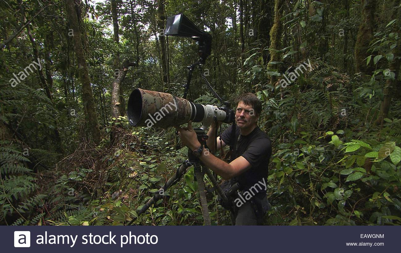A photographer tracks an Arfak astrapia's courtship display. - Stock Image