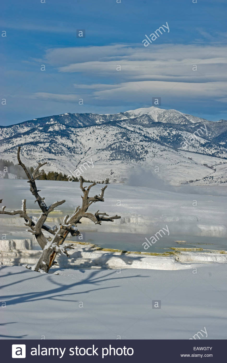Steam by trees killed by geothermal activity at Mammoth Hot Springs. - Stock Image