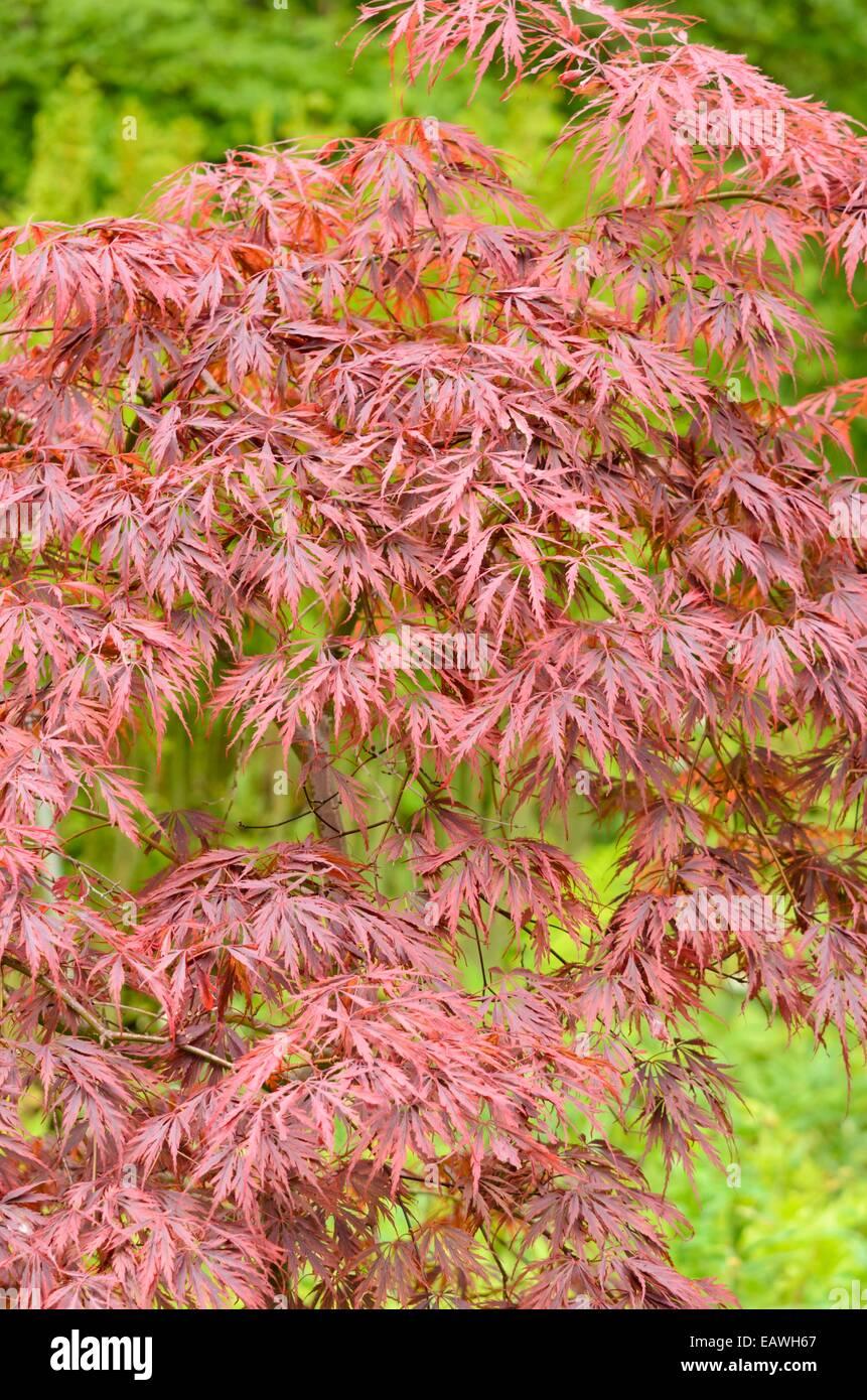 Japanese Maple Acer Palmatum Dissectum Tamukeyama Stock Photo