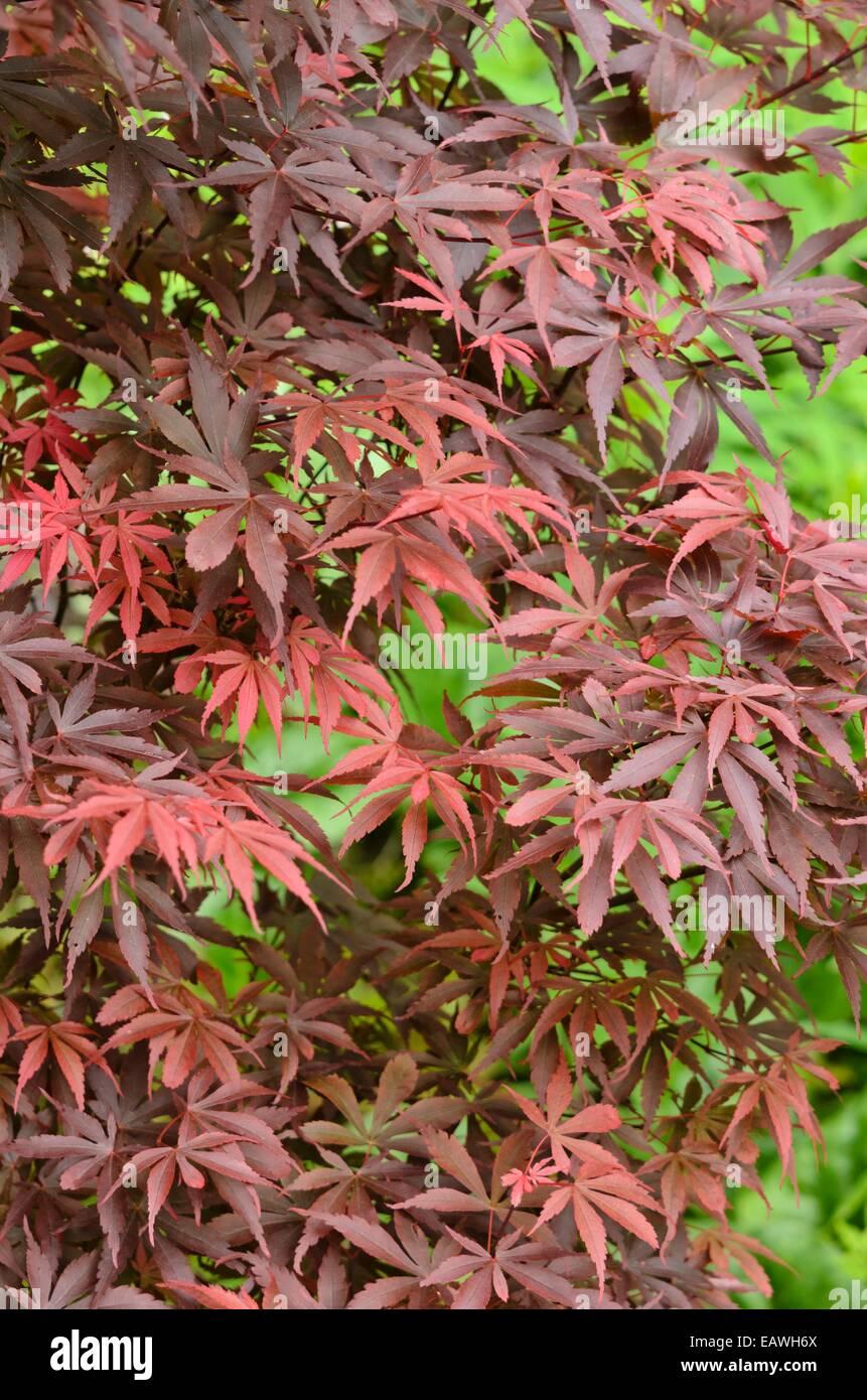 Japanese Maple Acer Palmatum Skeeters Broom Stock Photo