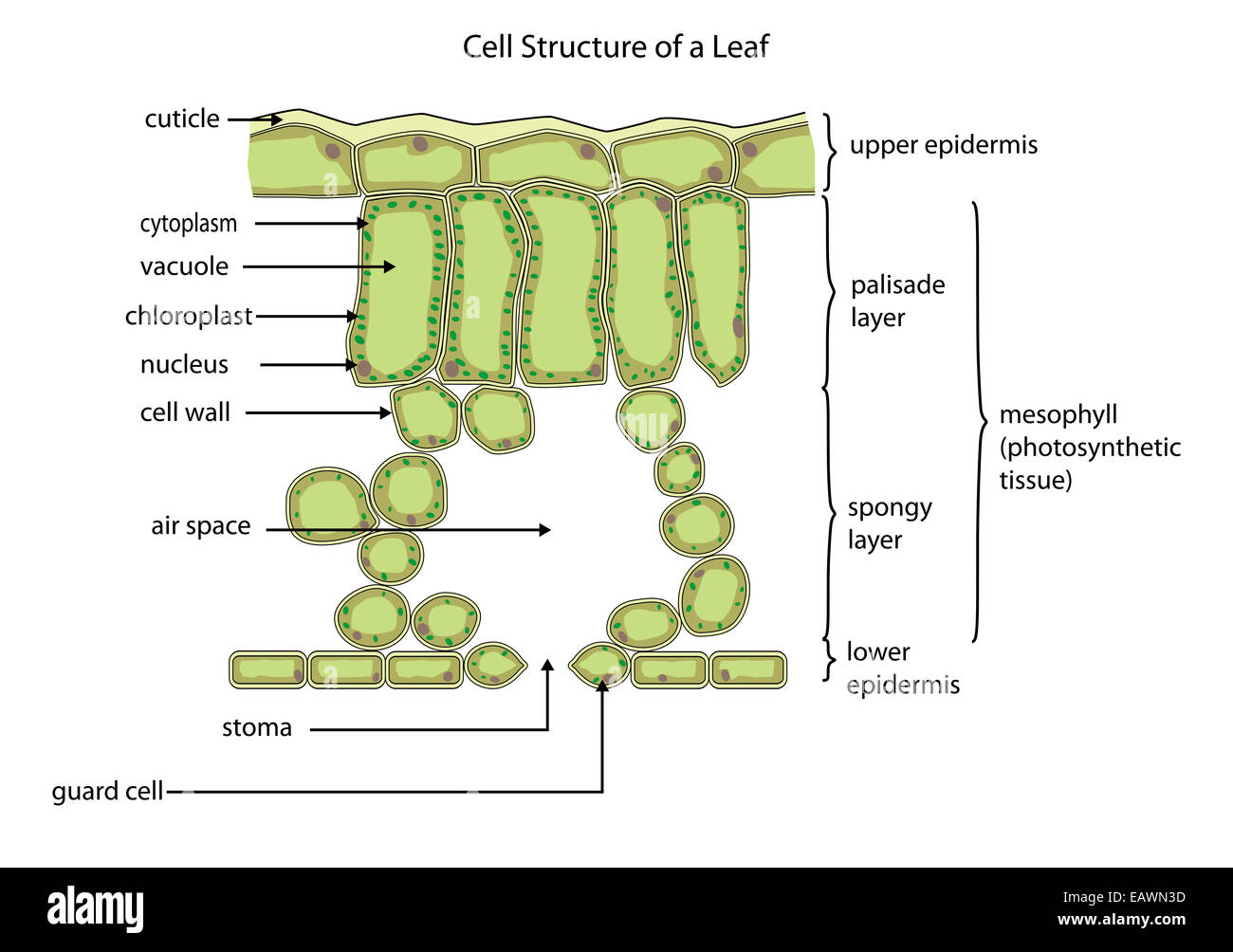 Section through a typical leaf showing the cell structure - Stock Image