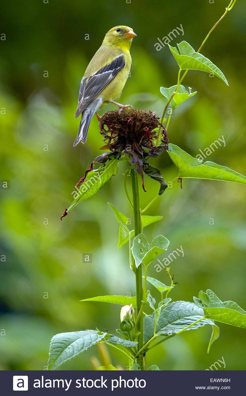 A female American goldfinch, Carduelis tristis, on a bee balm plant. - Stock Image