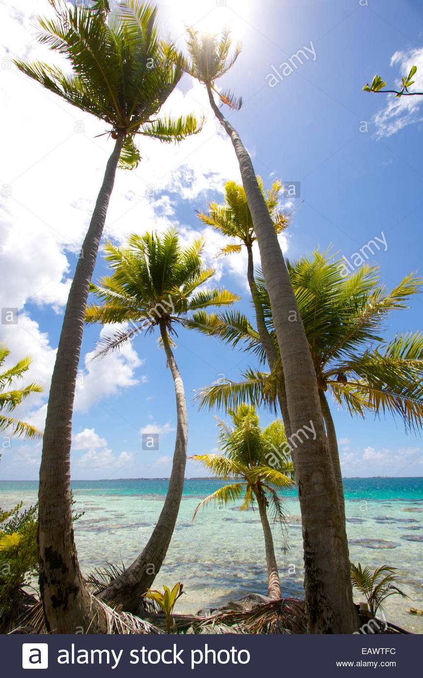 The palms of Coconut trees reach up towards the sun on a tropical atoll. - Stock Image