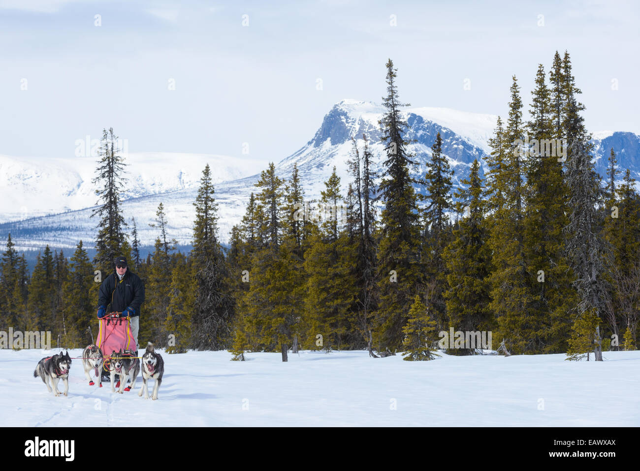 Musher and his dog team travel across a snowy landscape - Stock Image