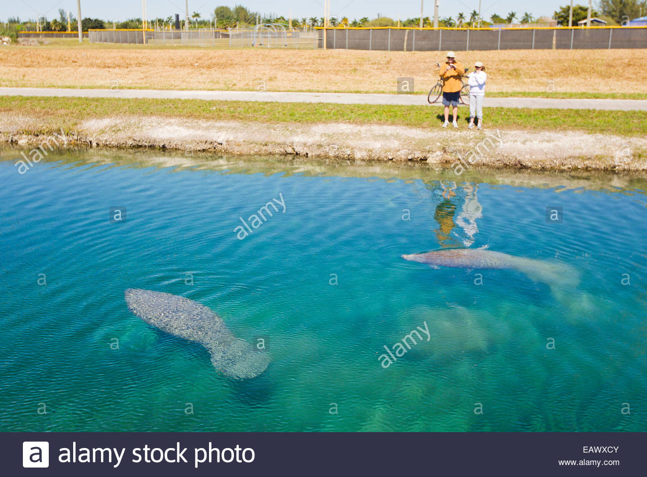 People watch manatees swim in a canal in Homestead. - Stock Image