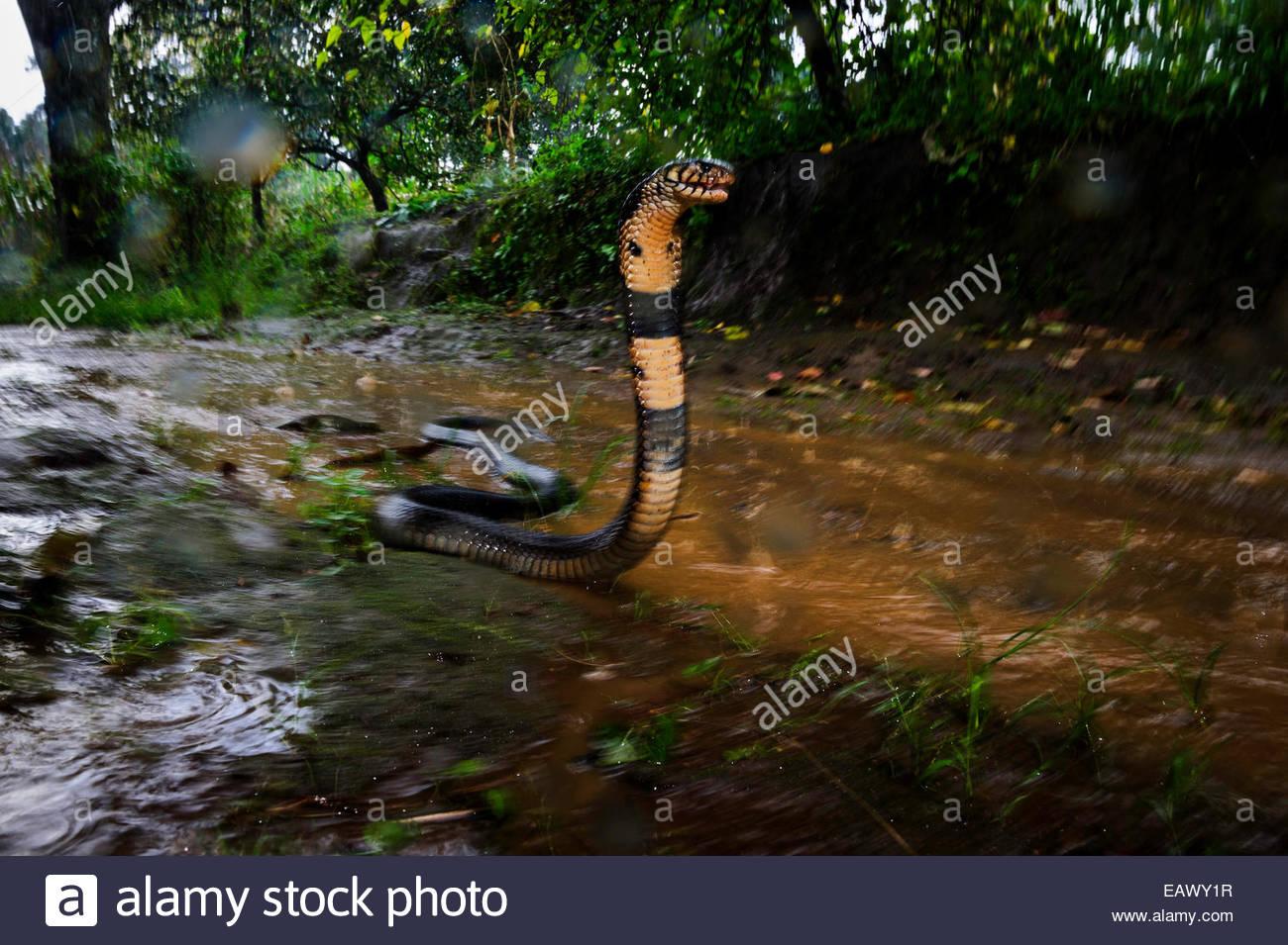 A venomous forest cobra in the rain. - Stock Image