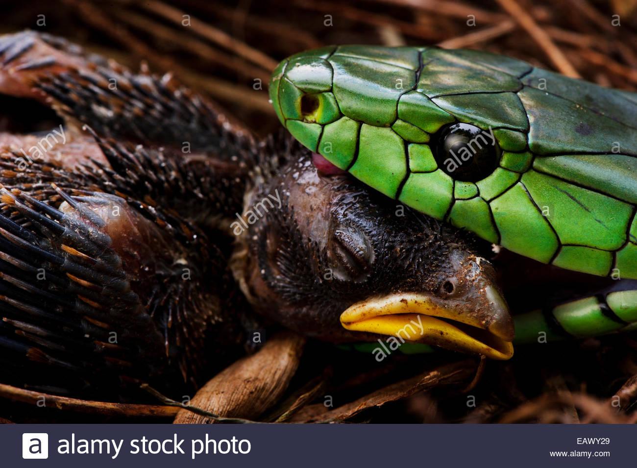 A Jameson's mamba kills and eats a nestling. - Stock Image