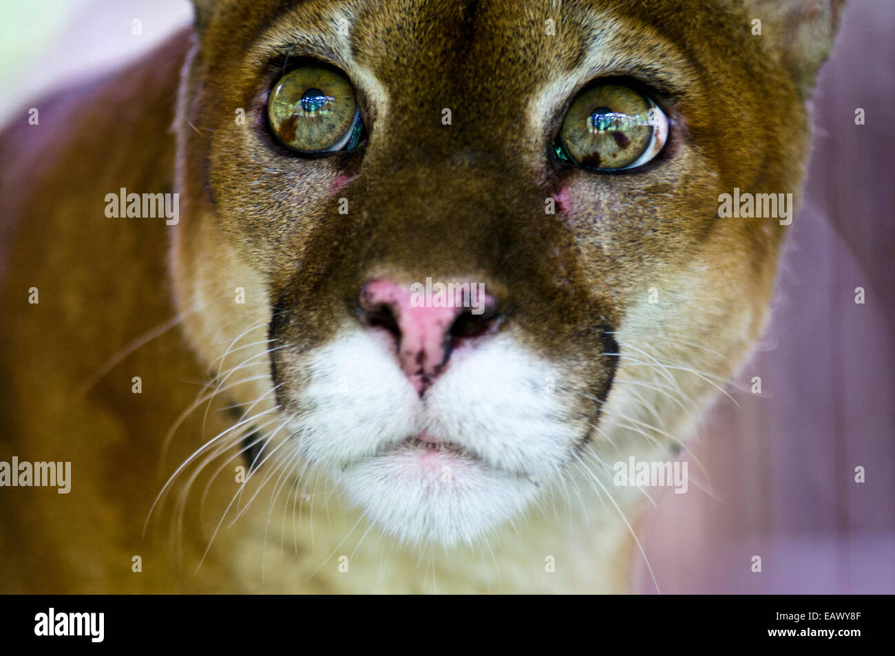 The wide-eyed inquisitive yet serene stare of a Mountain Lion with lime green eyes. Stock Photo