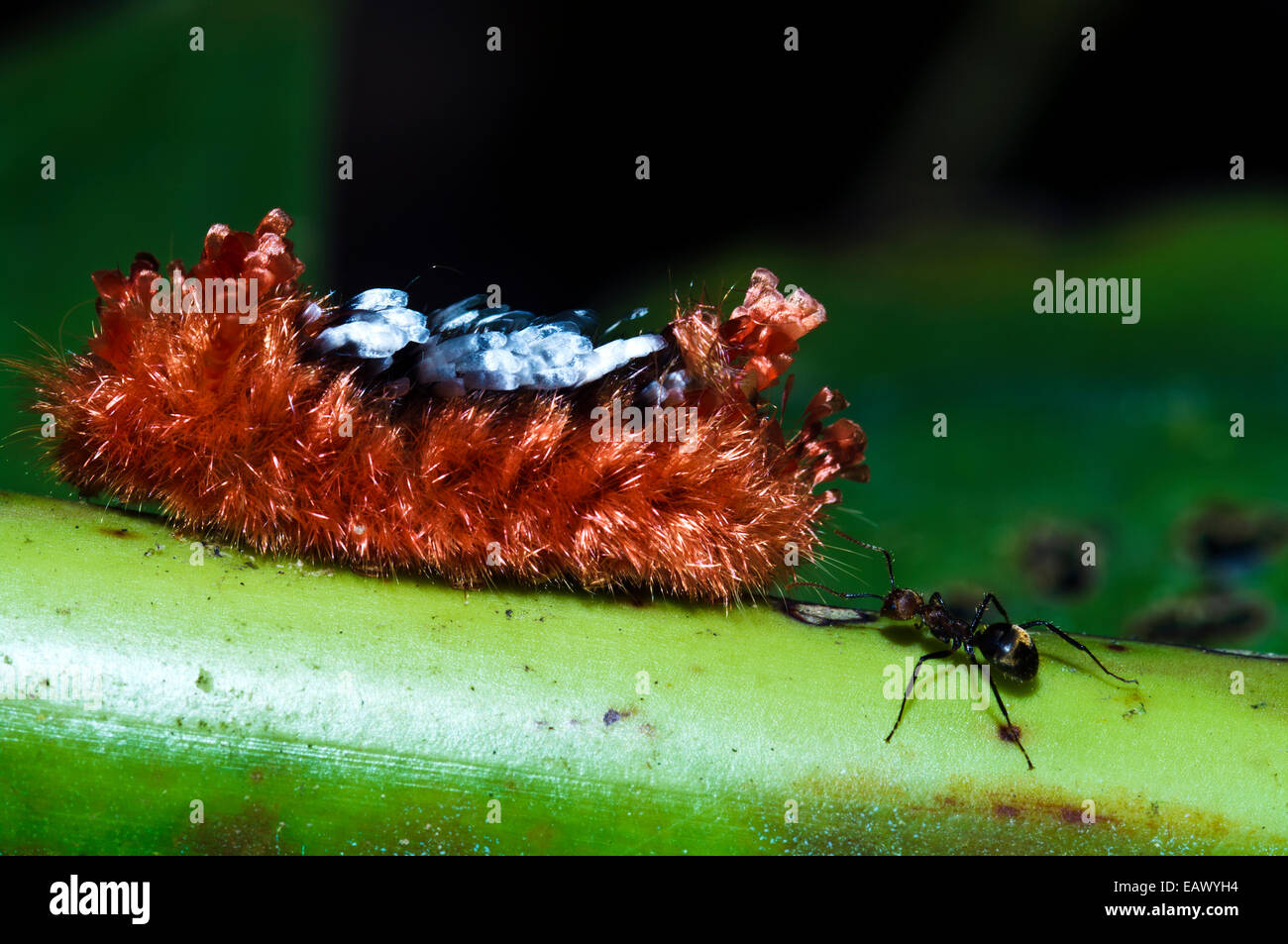 A thick coat of poisonous hairs protects the Tarchon larvae of a moth from attack by an ant. - Stock Image