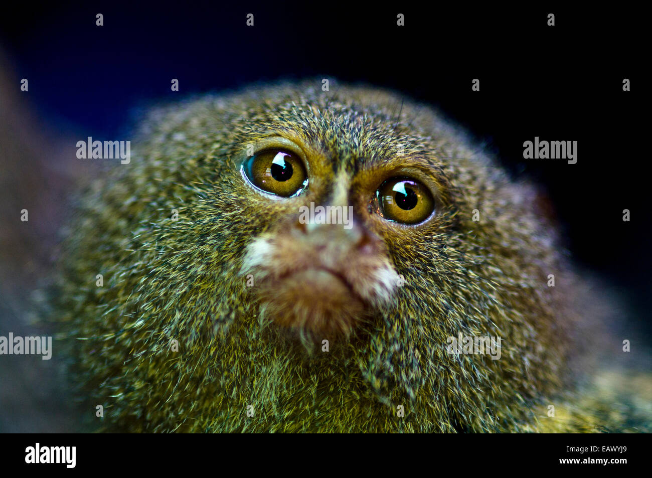 A terrified Pygmy Marmoset for sale in an Amazon River town black market. - Stock Image
