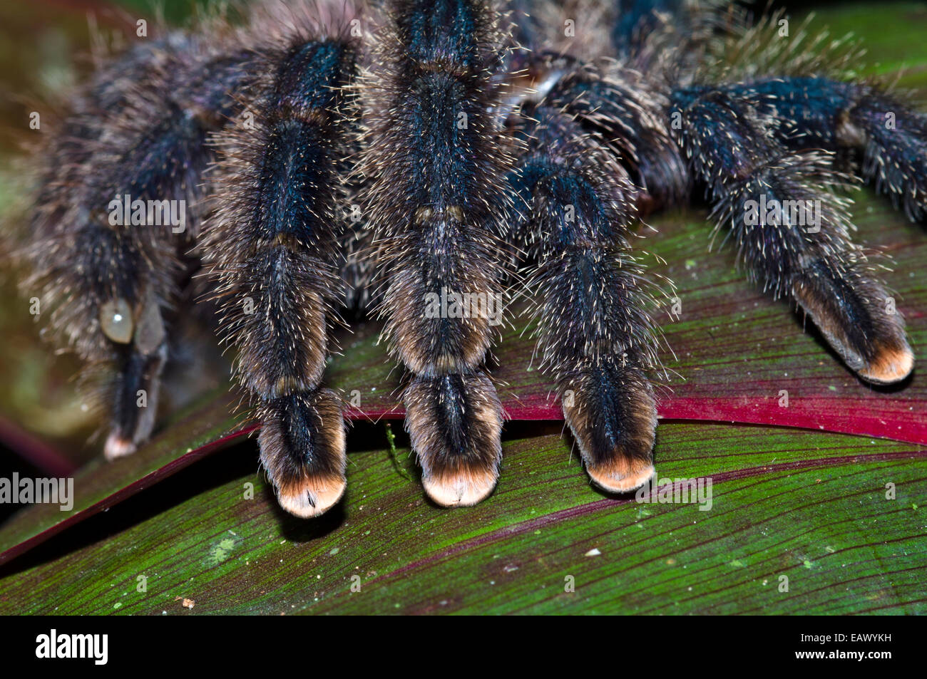 The hairy segmented legs and pink feet of a Pinktoe Tarantula. - Stock Image