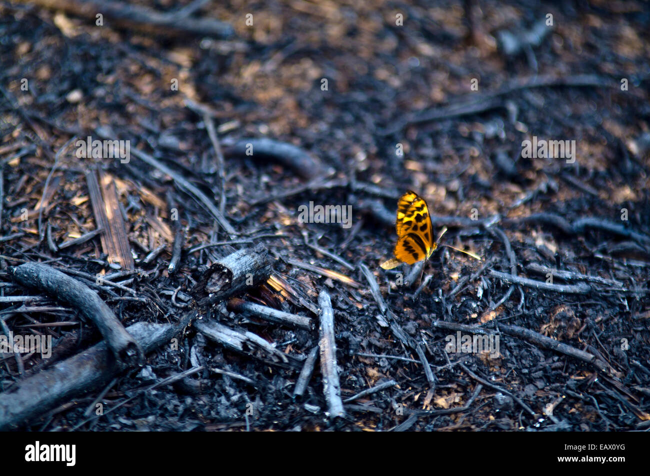 A Passion Flower Butterfly extracting nutrients from charcoal after rainforest was cleared and burned for farmland. - Stock Image