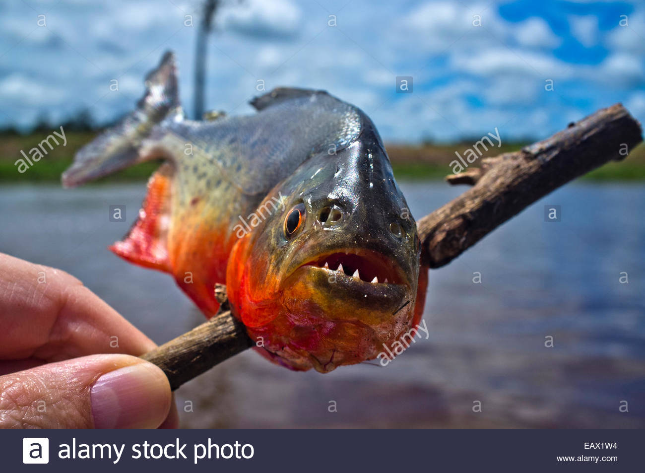 Amazon River Fish Piranha together with Fisherman Amazon River Monster as well E02 Florida Mullet Run also Anaconda Pictures together with Dinictis. on arapaima fish bite