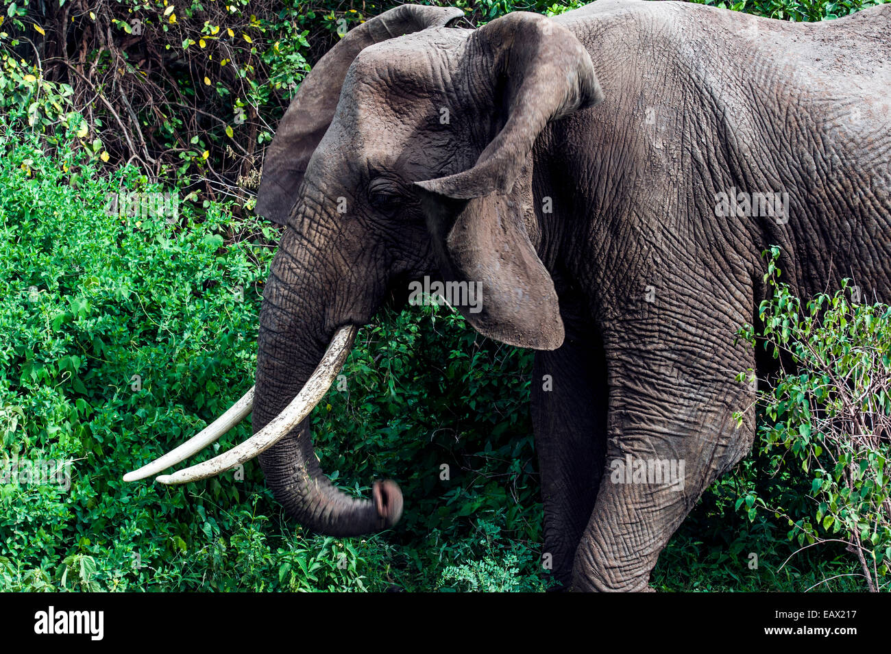 An African Elephant feeding on foliage in an evergreen forest clearing flaps his ears. - Stock Image