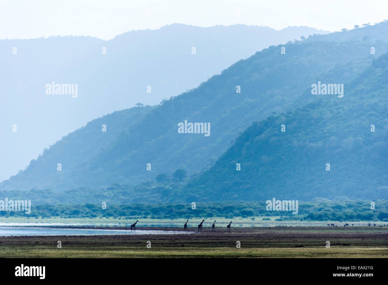 A herd of Giraffe walking along the shore of soda lake in a wide valley. Stock Photo