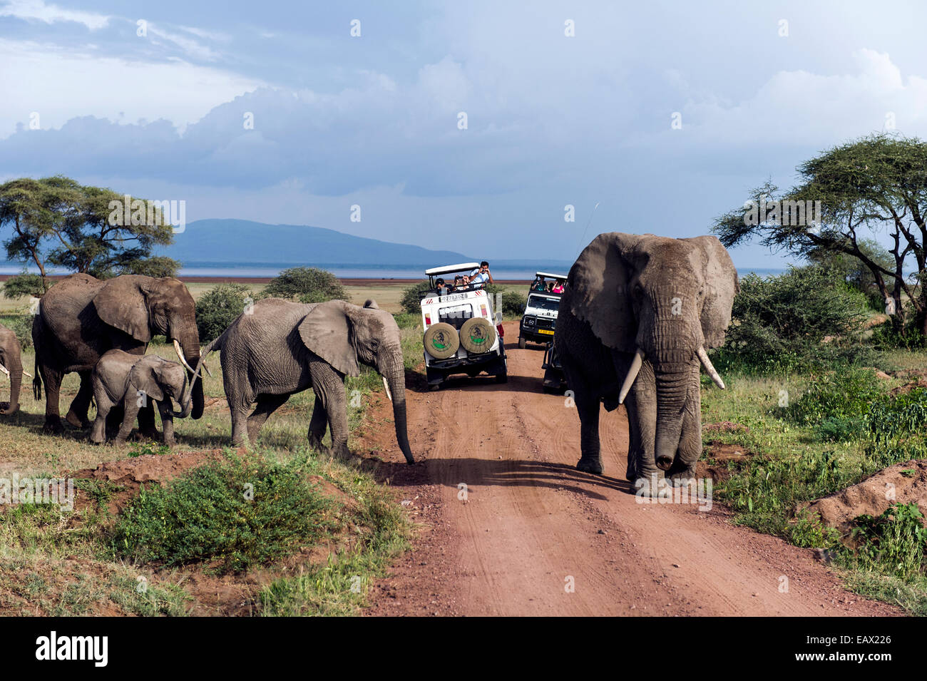 A herd of African Elephants and calf crossing a road between tourist safari vehicles. Stock Photo