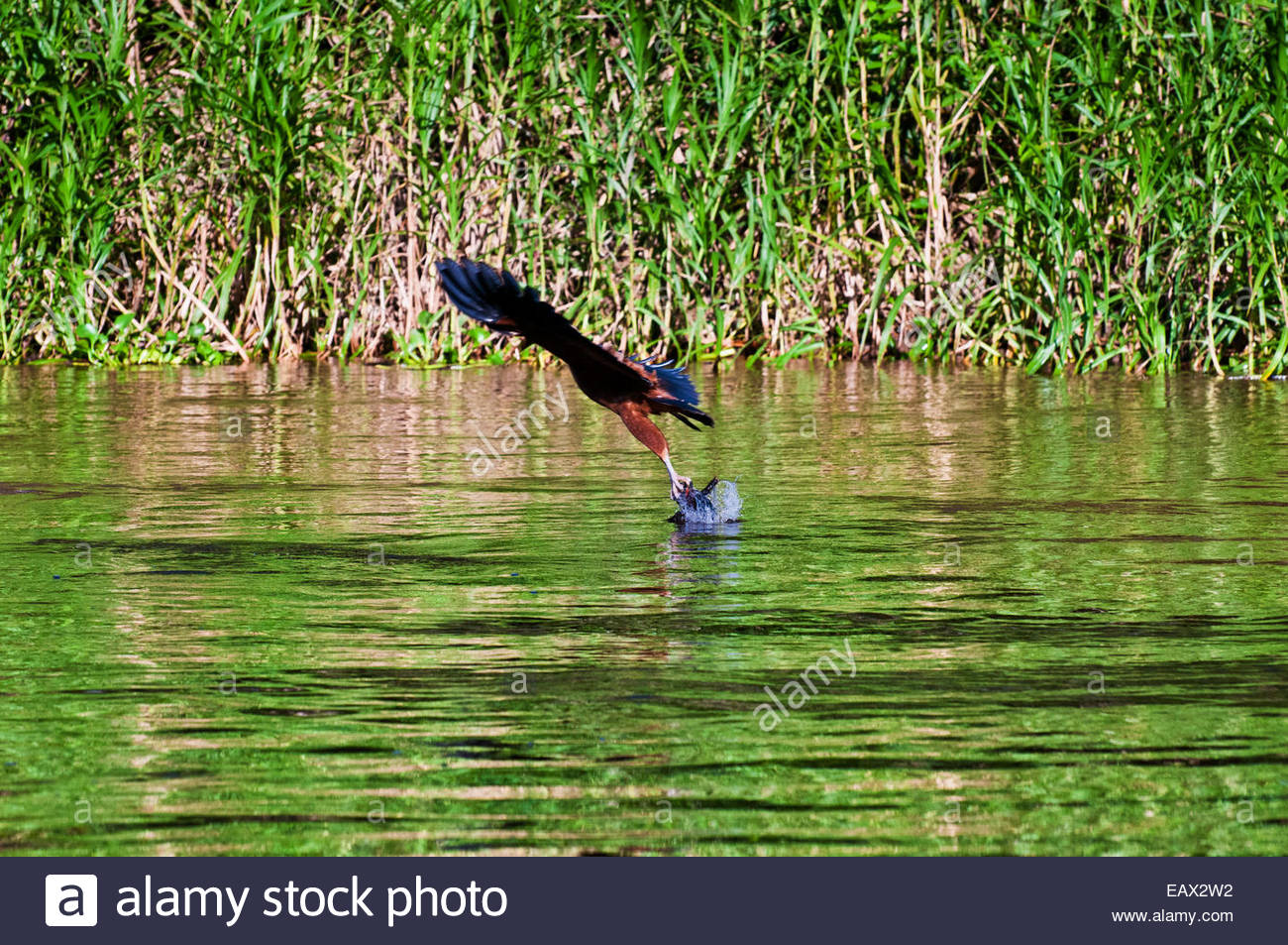 A Black-collared hawk, a bird of prey in the Accipitridae family, exits the water with a fish in its talons. - Stock Image