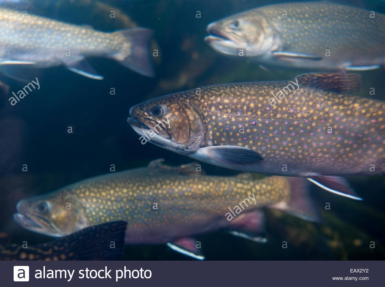 Rainbow trout in a fish tank at the Baltimore National Aquarium. - Stock Image