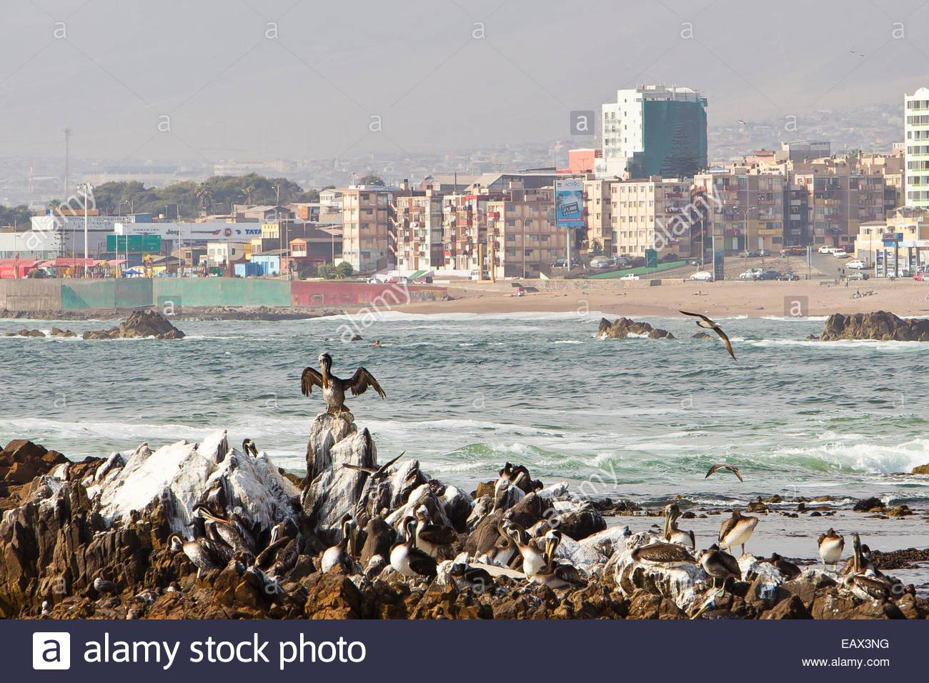 Pelicans alight on guano covered rocks near Antofagasta's urbanized coastline. - Stock Image
