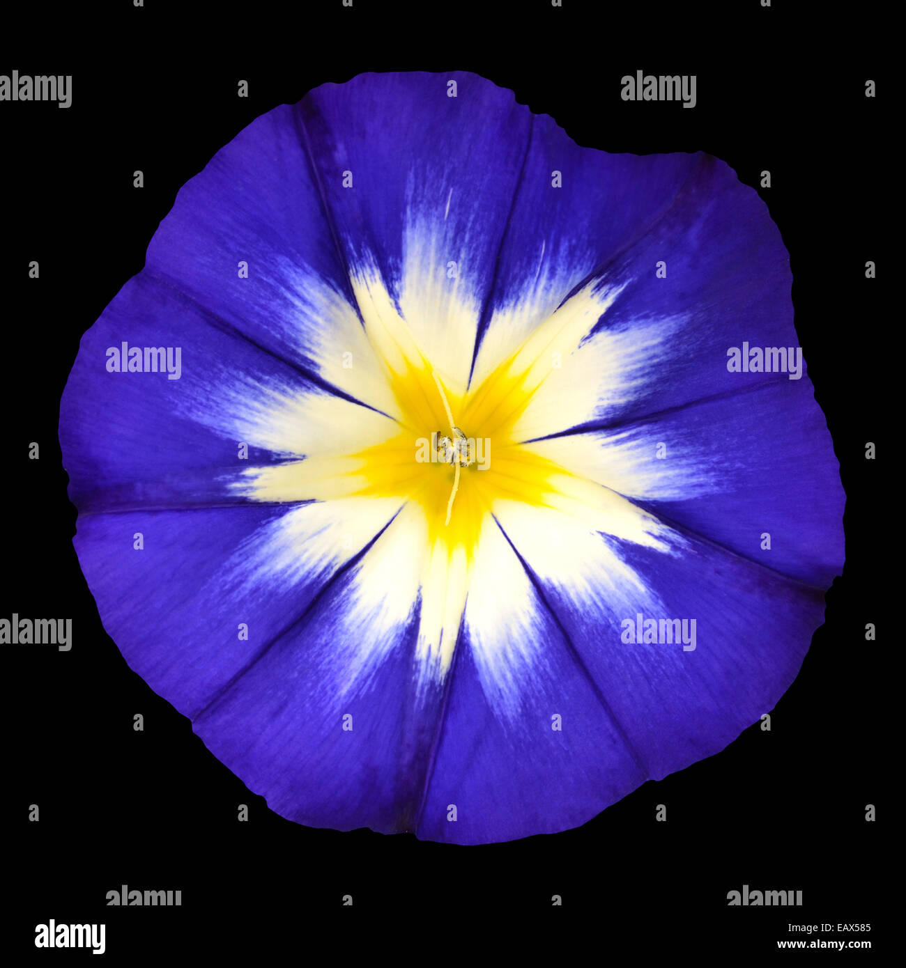 Blue Flower With White Yellow Star Shaped Center Isolated On Black