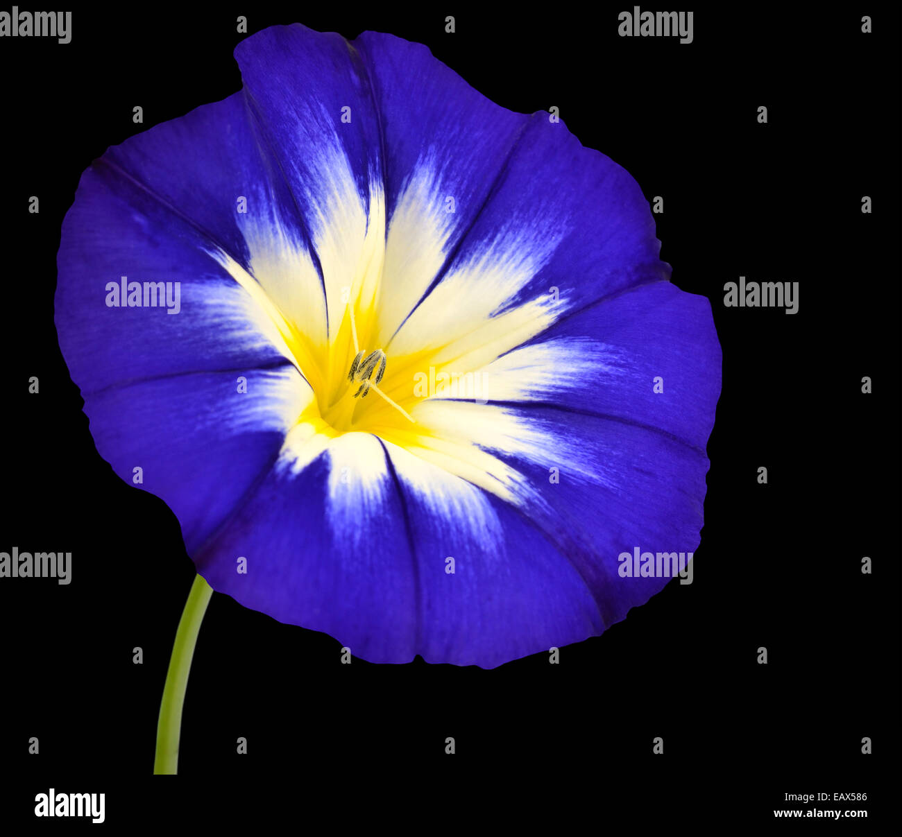 Blue Flower With White Yellow Star Shaped Center With Green Stick