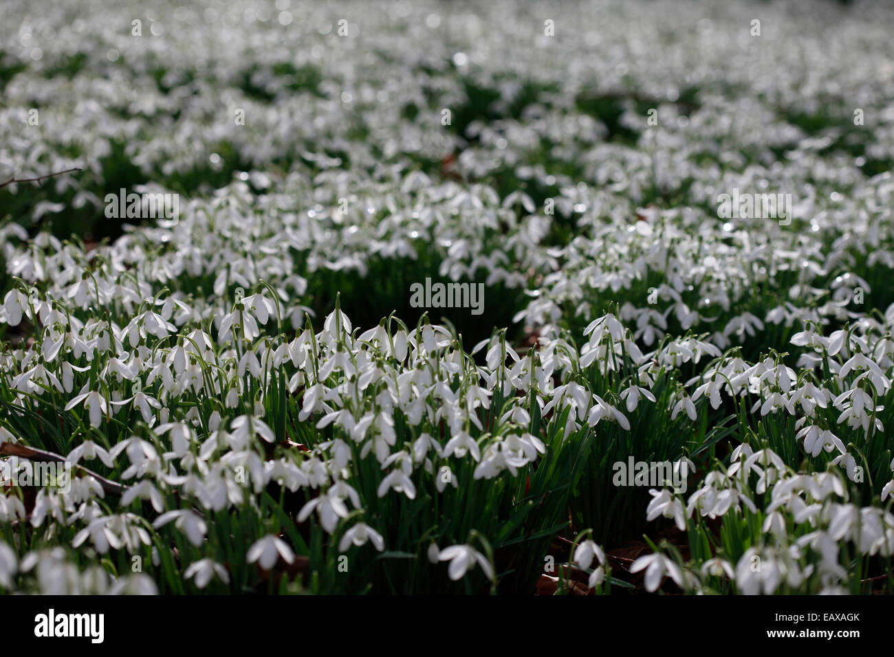 one of many snowdrops on a beech tree woodland forest floor Jane Ann Butler Photography JABP1188 - Stock Image