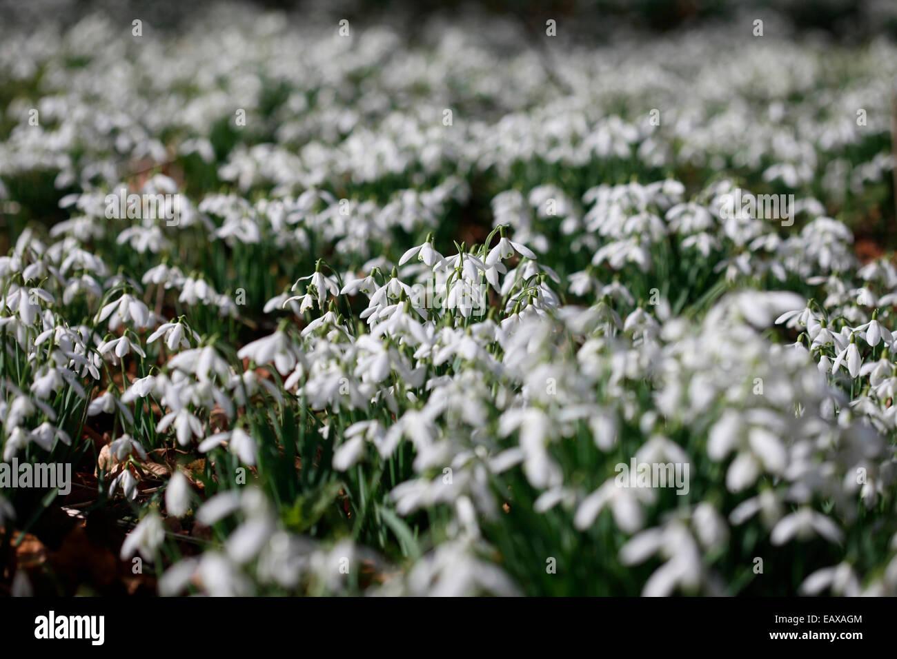 lovely sparkling snowdrops in the February sunshine Jane Ann Butler Photography JABP1192 - Stock Image