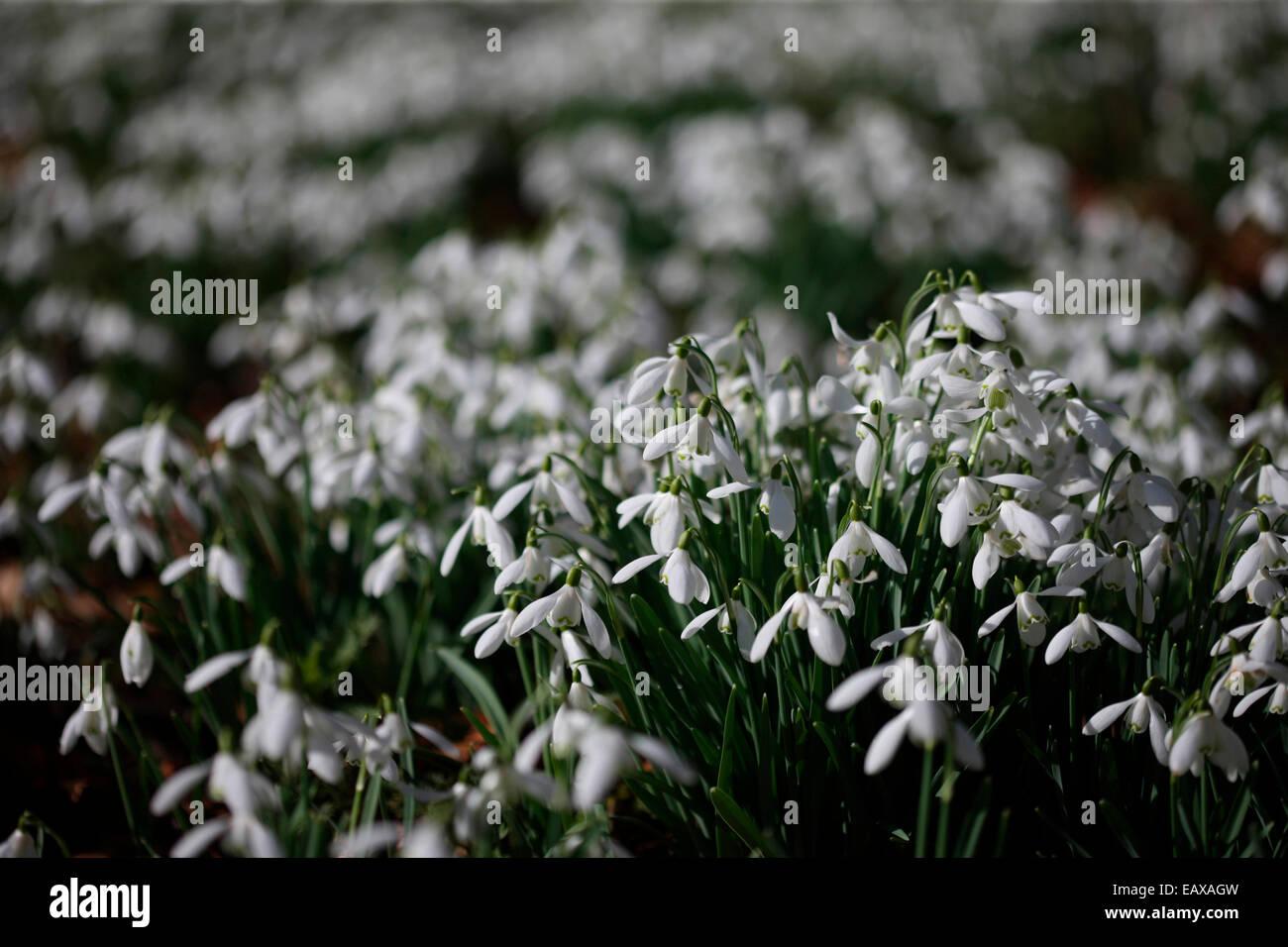 lovely sparkling snowdrops in the February sunshine Jane Ann Butler Photography JABP1191 - Stock Image