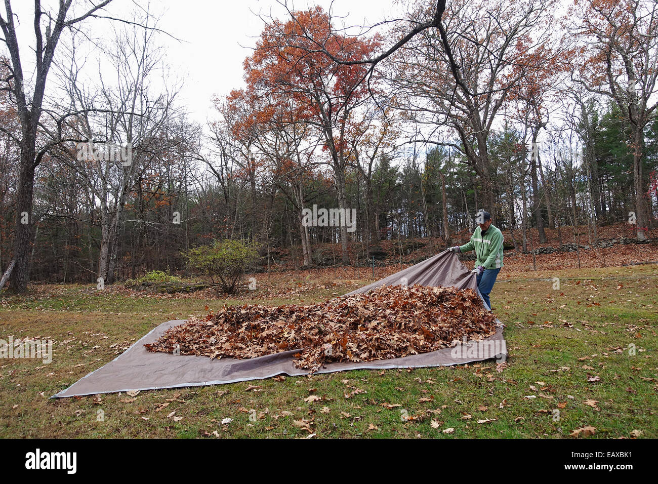man pulling tarp with leaves - Stock Image