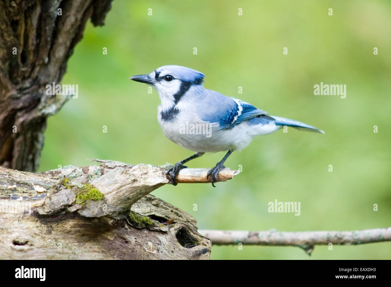 A blue jay perched on a tree branch. Stock Photo