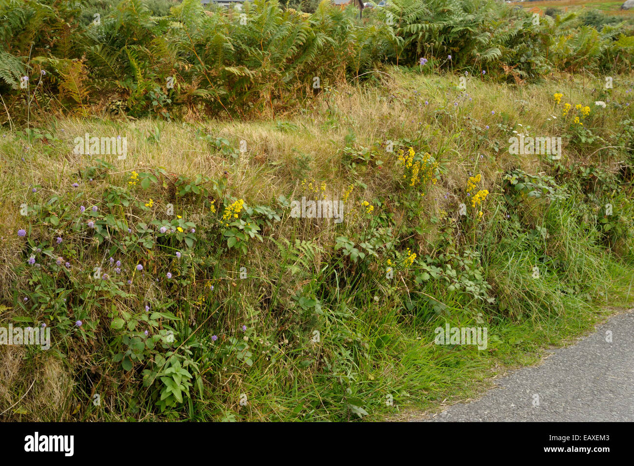 Hedgerow with Golden Rod and Devil's Bit Scabious, Bere Island - Stock Image