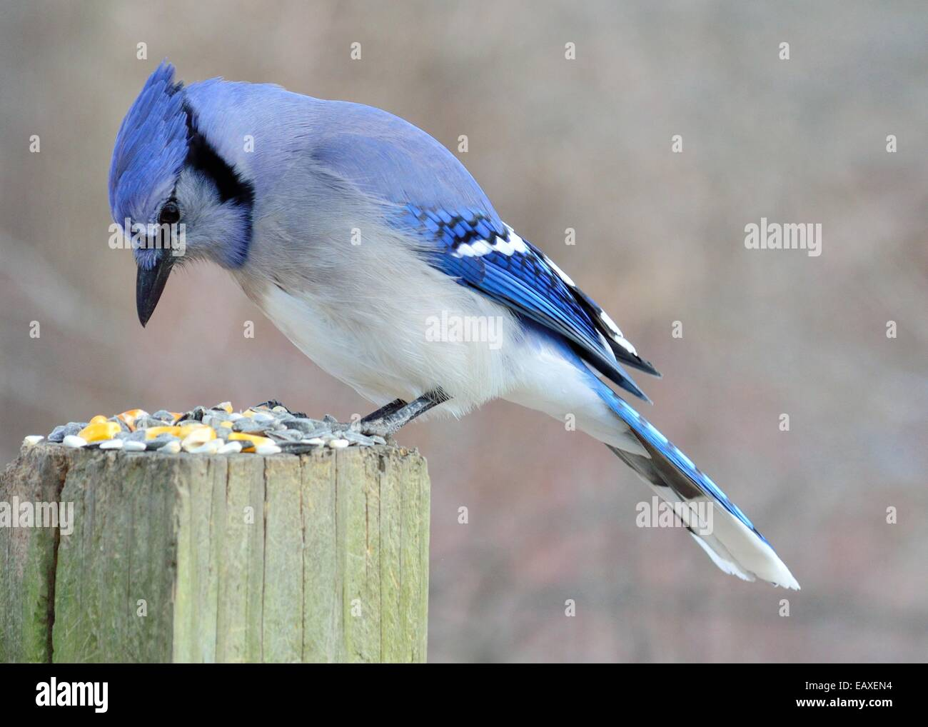 Blue Jay perched on a post eating peanuts. Stock Photo